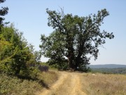 Old tree near the village of Strandja Zabernovo, Picture 1