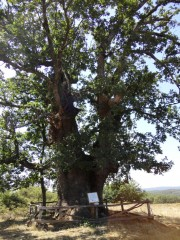 Old tree near the village of Strandja Zabernovo, Picture 2